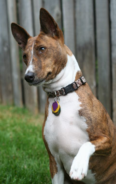 Rehome Your Basenji With BRAT
